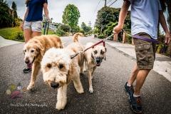 Commercial work - Dog Walking